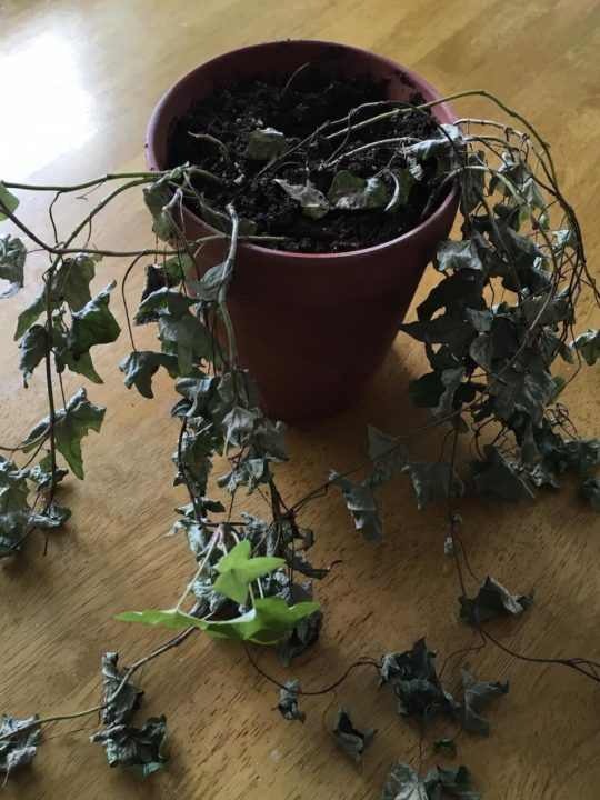 Dying Ivy Plant